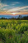 Spring ferns at sunset along Beauty Spot, Unaka Mountains, Tennessee and North Carolina