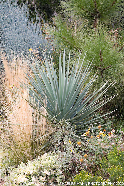 Yucca with grasses denver botanic garden mann mg for Spiky ornamental grass