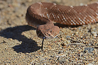 The Red Diamondback Rattle Snake (Crotalus ruber ), is a large, venomous snake that lives in an area ranging from Southern California to the southern tip of the Baja California peninsula in Mexico. It takes its name from its distinctive coloring and the pattern along its back.