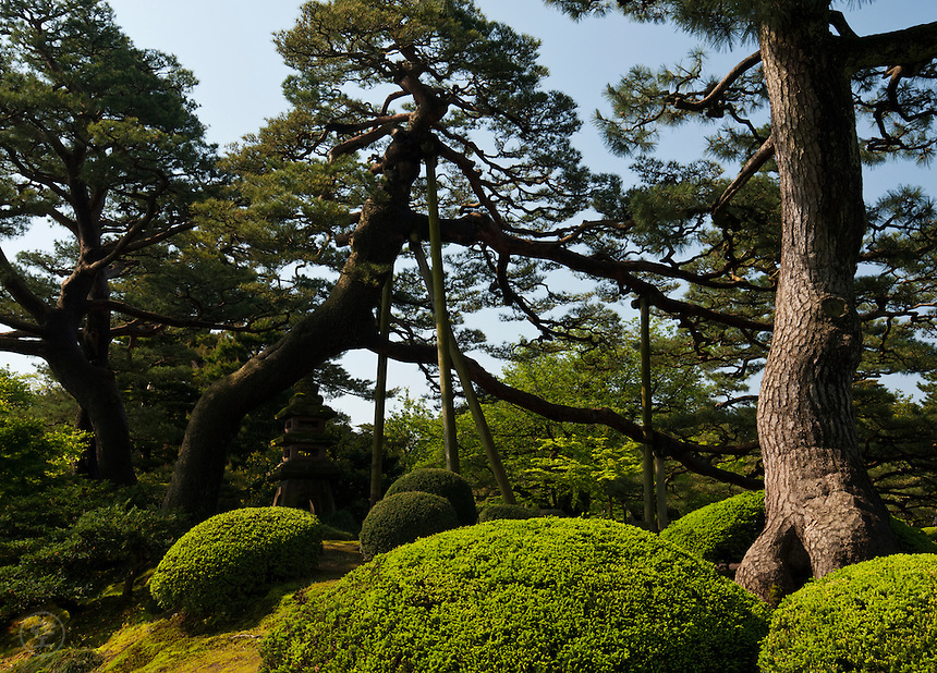 Pine trees growing at the famous landscape garden at Kenrokuen, Kanazawa.