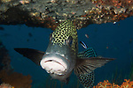 Many spotted sweetlips (Plectorhinchus chaetodonoides)under a plate coral.