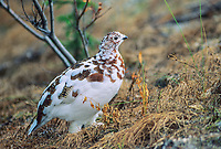 Willow ptarmigan, Autumn phase, Denali National Park, Alaska
