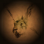 Hare, name for certain herbivorous mammals of the family Leporidae, which also includes the rabbit and pika.