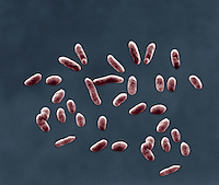 Serratia marcescens. This common bacteria contaminated supplies of the flu vaccine. - SEM