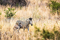 Baby zebra and mom.  As I was shooting this I know they were walking into an ambush of lions.  This was the last moments of this foal's life.  It is tough being an animal in the bushveld.  This is Pilanesberg National Park in South Africa.