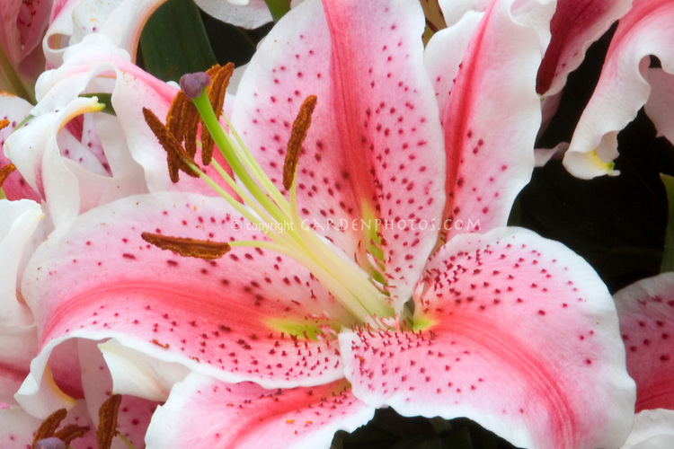 Lilium 'Ambon' (Oriental Lily), spotted pink and white