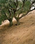 Oak trees in Hollister, California, USA