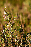 La Clape. Languedoc. Domaine Mas du Soleilla. Garrigue undergrowth vegetation with bushes and herbs. Wild rosemary, romarin. France. Europe.
