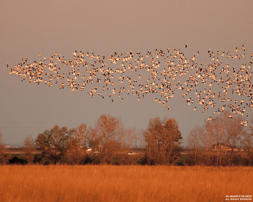 Evening fly-in at Merced National Wildlife Refuge, California
