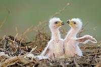 Mission:  Saiga.Steppe eagle (Aquila nipalensis) chicks, Cherniye Zemly (Black Earth) Nature Reserve, Kalmykia, Russia, May 2009.Aquila rapax