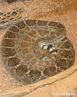 0516-1105  Western Diamondback Rattlesnake, Texas Diamond-back, Crotalus atrox  © David Kuhn/Dwight Kuhn Photography