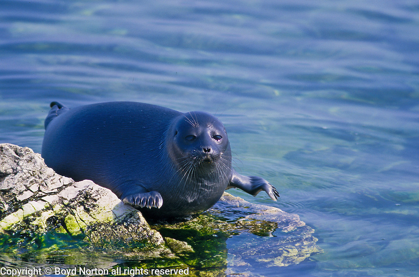 Lake Baikal Animals Nerpa, world's only fr...