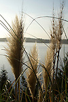 Pampas grass and blue skyies over lake wylie sky