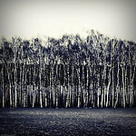Monochrome photography. Row of birch trees, as a result, landscape levels and layers.
