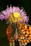 Heather Crab Spider, Yellow Form, Thomisus onustus with fritillary butterfly prey, feeding, on flower, Provence.France....