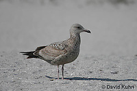 0711-0814  Herring Gull (2nd winter plumage), Larus argentatus © David Kuhn/Dwight Kuhn Photography