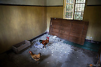 A rooster and chicken occupy an empty room of a building that is not in use at Yangjia Hospital in Wuji County, China's Zhejiang Province October 19, 2015. Only 30 patients and their relatives now live at the hospital that use to treat more than 150 people at the same time, all miners suffering from diseases caused by dust in their lungs. Yangjia Hospital, once considered top medical institution treating pneumoconiosis with latest imported equipment is not able to keep the high standards since becoming private in 2001 and is now offering only basic care for its remaining patients. REUTERS/Damir Sagolj