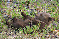 Grizzly bear cub scratching its back while lying on the ground - CA