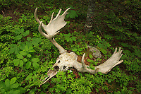 &quot;Moose Skull in Spring&quot;<br />