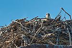 A nest with two Osprey chicks, The Kimberley, Western Australia
