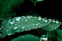 DEWDROPS ON PLANTS<br /> Peony Leaf.