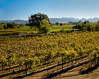 GRAPE VINES of the Flora Springs Winery turn gold in the NAPA VALLEY - ST. HELENA, CALIFORNIA