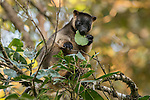 Queensland Tree Kangaroos