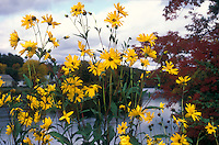 Helianthus salicifolius in the wild in autumn next to river
