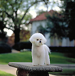 Bichon Frise in the park Shopping cart has 3 Tabs:<br /> <br /> 1) Rights-Managed downloads for Commercial Use<br /> <br /> 2) Print sizes from wallet to 20x30<br /> <br /> 3) Merchandise items like T-shirts and refrigerator magnets