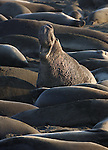 Northern Elephant Seals (Mirounga angustirostris). An old bull with his harem. Piedras Blancas. Near Cambria, San Luis Obispo Co., Calif.