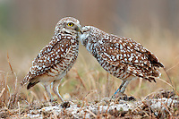 a burrowing owl couple displaying courtship behavior