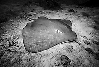 Reticulate Whipray, Himantura uarnak, resting on sandy bottom. Similan Islands Marine National Park, Thailand, Andaman Sea