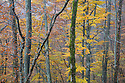 Beech woodland {Fagus sylvatica}, Plitvice Lakes National Park, Croatia. November.