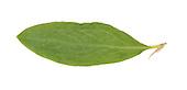 Knotgrass - Polygonum aviculare