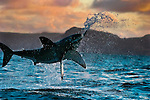 Great White Shark (Carcharodon carcharius) breaching as it attacks a seal decoy off South Africa at sunset. Photo Copyright Protected &copy; Dale Sanders / www.dalesanders.info  All Rights Reserved.