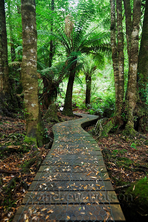 Wielangta rainforest boardwalk in southeast Tasmania, AUSTRALIA