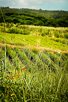 Farms in Hawaii from kitchen gardens, small farms to large scale agriculture. Grow your own is a popular trend in Hawaii