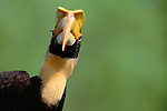 Great Hornbill,  Southeast Asia