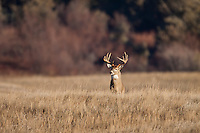 Whitetail deer (Odocoileus virginianus) trophy buck during autumn rut