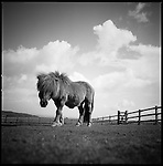 Low lever view of a Shetland pony and surrounding Devon landscape.