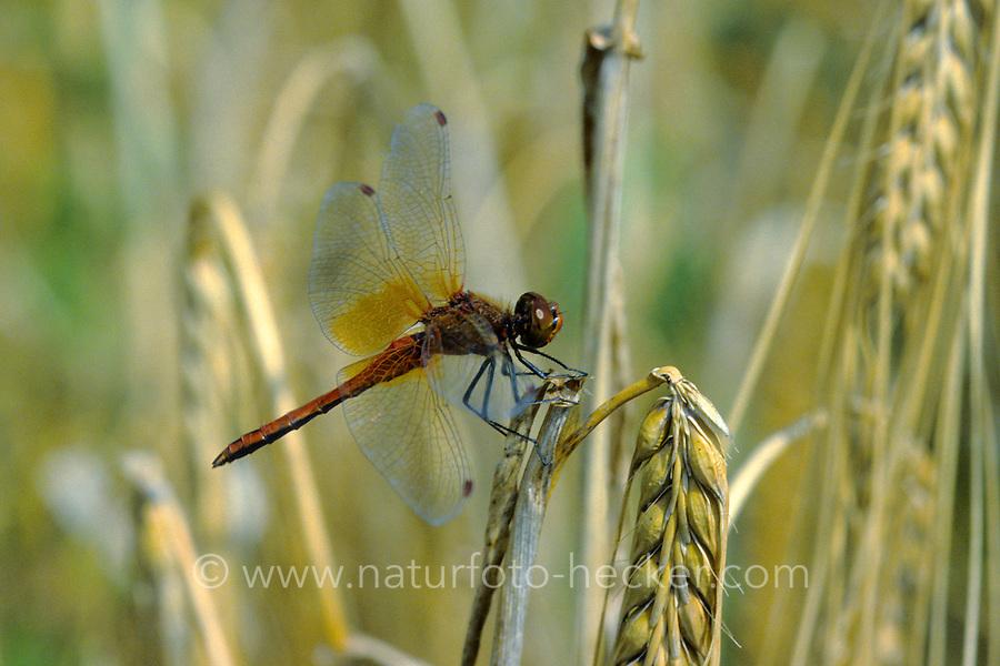 Gefleckte Heidelibelle, Männchen, Sympetrum flaveolum, yellow-winged darter, yellow winged sympetrum, male