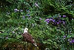 Bald eagle among wild geraniums, Unalaska Island, Alaska