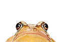 Common frog {Rana temporaria}, photographed on a white background, Derbyshire, UK. March.