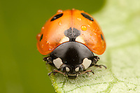 A frontal view of a Seven-spotted Lady Beetle (Coccinella septempunctata) covered with raindrops after a brief rain shower, Ward Pound Ridge Reservation, Cross River, Westchester County, New York