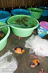 Pomacanthus navarchus mort a la suite du voyage entre les iles banggais et Manado<br /> <br /> Poisson Ange Amiral, Pomacanthus navarchus, Manadoo, Sulawesi, Indon&eacute;sie- Mission Banggai Cardinal Fish, Mai 2008, Act for Nature - Musee oceanographique de Monaco