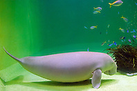 dugong, Dugong dugong (c), female, note a nipple located in the armpit, Indo-Pacific Ocean