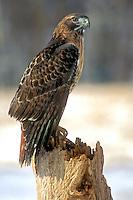 #B5 Red Tail Hawk On Post
