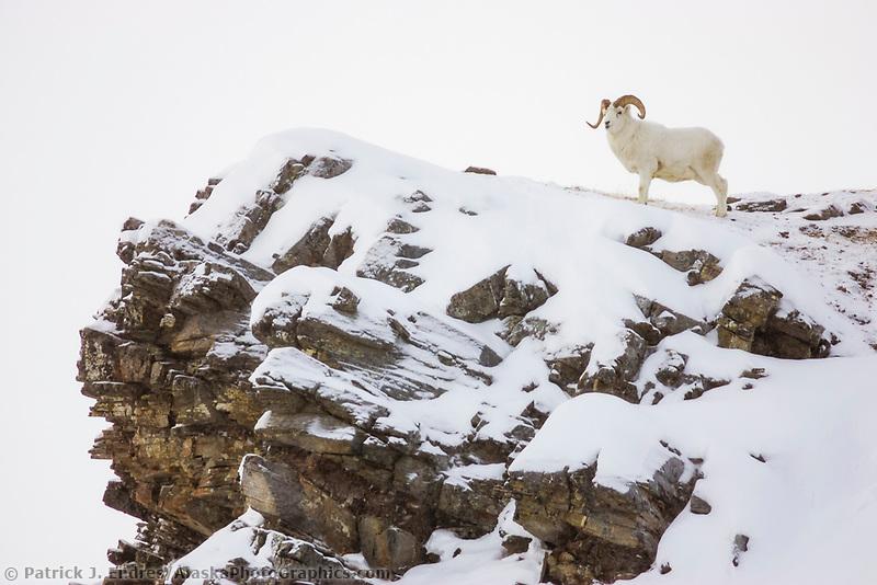 Dall sheep ram on rock outcrop in Atigun Pass, Brooks Range, arctic, Alaska