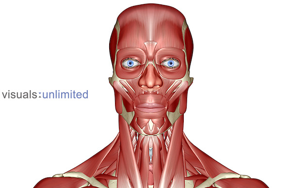 An anterior view of the muscles of the head and neck. Royalty Free