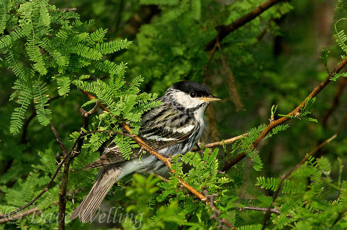 591510007 a wild male blackpoll warbler setophaga striata - was dendroica striata - in breeding plumage perches in a mesquite bush on south padre island texas united states